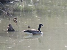 Canadian Goose {Emma}