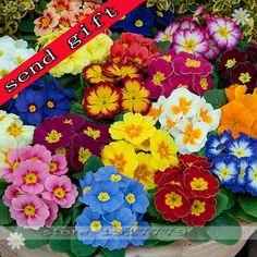 100pcs/bag100%True Europe Primula acaulis seeds,Primrose Rare bonsai flower seeds for home garden Indoor bonsai plants