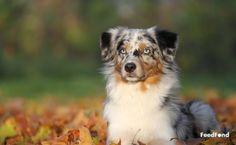Complete Guide to Australian Shepherd Husky Mix Breed Dog Australian Shepherd Lab Mix, Aussie Shepherd, Corgi Mix, Husky Mix, Blue Merle, Herding Dogs, Dog Activities, Dog Barking, Mixed Breed