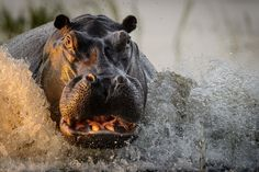 """""""Territorial Hippo."""" I was on a photographic safari in Chobe River, Botswana in April 2016 when I took this image. At this time of the year the water levels are high and herds of hippopotamus share the tributaries. This particular bull was very territorial and liked to mock charge whenever our boat (driven by a qualified local guide) passed his patch of the river on our daily outings. On this occasion, I pre-focussed my 600mm lens and fired a few shots at a safe distance and got this golden…"""