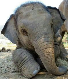 Aww..Baby elephant feeling sleepy after lunch. How cute is this? <3