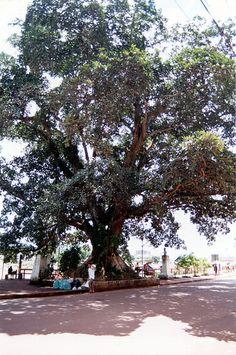 Gameleira árvore histórica - Acre