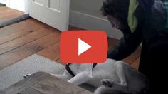 Blaze Loves His Kennel (ORIGINAL) Husky Says No to Kennel - Funny    Share this video