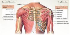 The muscles that move the arm. Human Muscle Anatomy, Human Anatomy And Physiology, Cardiac Sonography, Gross Anatomy, Musculoskeletal System, Facial Muscles, Facial Massage, Medical Information, Shoulder Workout