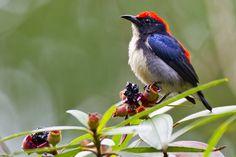 Scarlet-backed Flowerpecker by Chong Lip Mun, via Flickr.