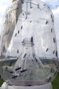 Pictures horsefly trap - Trap'emAll Horsefly Traps USA