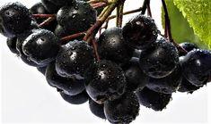 Un articol pe blog despre fructele de aronia Blackberry, Blog, Plant, Blackberries, Blogging, Rich Brunette
