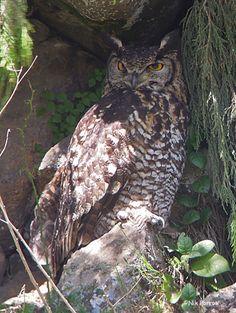 Cape Eagle Owl, Ethiopia