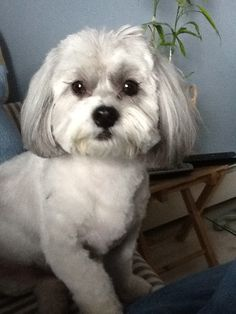 shih-poos are so cute! shih-poos are so cute! My Pet Dog, Pet Dogs, Dogs And Puppies, Dog Cat, Doggies, Yorkie Haircuts, Dog Grooming Styles, Shih Poo, Poodle Mix