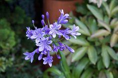 Afrikas blå lilja Agapanthus praecox