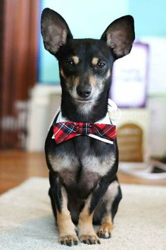 Amazing Hair Bows Bow Adorable Dog - ffe8406dface81c954cbe63a39185a5a--trends-bow-ties  Trends_24387  .jpg