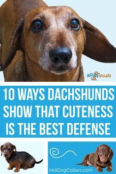 Cute Doxie Infographic! Are you a fan of the weiner dog? Dachshund specific blog posts and products at hotdogcollars.com