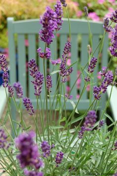 Lavender Provence - Semi evergreen perennial with thin spikes of fragrant flowers. Sun.