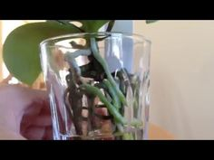 Beautiful spikes & how to prevent mold in water culture orchids