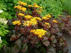 Ligularia 'Britt Marie Crawford' loves moist shade to part shade. Purple black leaves display yellow orange daisy like blooms during June-July. Perennial. Zones 4-8