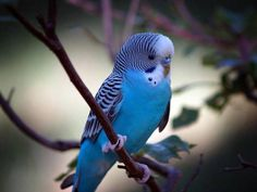 jeune perruche ondulée mâle