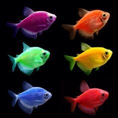 GloFish Tetra in Various Colors, Featured item. #glofish #tetra #colorful…