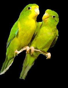 Papagaje   Ostatné