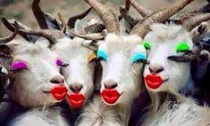 Makeup crazy goats are looking simply smashing. Happy Birthday Goat, Happy Birthday Quotes, Happy Birthday Images, Birthday Wishes, Funny Animal Pictures, Funny Photos, Funny Images, Cute Pictures, Funny Animals