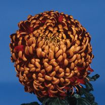Chrysanthemum 'Beacon' (Early)