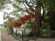 Prayer ribbons on a tree in Anhui.
