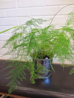 unelma - Asparagus setaceus
