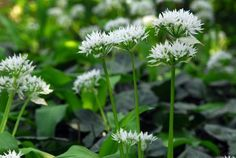 Allium Ursinum in the green. Wild Garlic or Ramsons bulbs are available in the green for spring planting. Ideal for naturalising. Planting Bulbs, Planting Flowers, Flowering Plants, Wood Anemone, Wild Garlic, Allium, Lily Of The Valley, Shade Garden, Gardening Tips