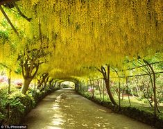 Article: The 20 best spots to see Britain in bloom  Bodnant Garden attracts visitors from all over the world to its breathtaking 180ft-long arch which, in May, is smothered in long, elegant hanging flowers of purest yellow