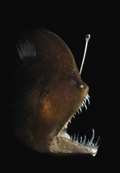 Murray's Abyssal Anglerfish - Melanocetus murrayi Also known as Black Seadevil, Melanocetus murrayi (Lophiiformes - Melanocetidae) is certainly a strange deep-sea fish living at depths of Underwater Creatures, Underwater Life, Deep Sea Creatures, Water Animals, Deep Sea Fishing, Deep Blue Sea, Sea Monsters, Ocean Life, Planet Ocean