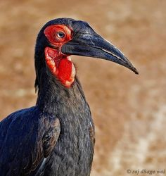 Ground hornbills are distributed from N Namibia and Angola to N South Africa to Burundi and Kenya. (Raj Dhage Wai)
