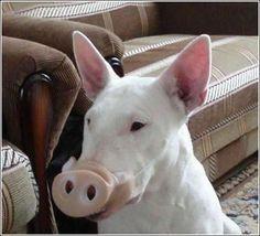 Resultado de imagen para bull terrier halloween