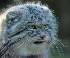 The Manul Cat Is The Most Expressive Cat In The World --- I feel like this is sort of what happens when I think of something delicious