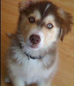 The kind of dog i want...Golden retriever husky mix. soo cute!