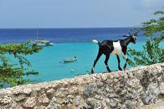 Curacao goat on wall at Boca Sami