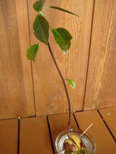 [Aug 6,2012] Persy is about a foot tall. Need to cut back now according to http://www.avocado.org/grow-your-own-tree/  #Ag #edu