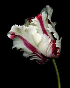The beautiful parrot tulip