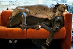cute dogs! this really shows that great danes are just gentle giants