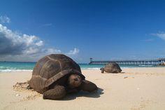 Aldabra Giant Tortoise (Female)