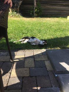 #chill #sun #cavalier #Max #boy 🙌🏻♥️ #summer #caffe ☕️🙊