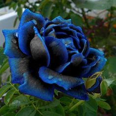 Shop our best value Blue Rose Bush on AliExpress. Check out more Blue Rose Bush items in Home & Garden! And don't miss out on limited deals on Blue Rose Bush! Most Beautiful Flowers, Exotic Flowers, Pretty Flowers, Black Flowers, Black Dahlia, Flowers Bunch, Nice Flower, Tropical Flowers, Pink Flowers