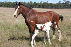 pictures of clydesdale horses | Horses For Sale: Drum horses, gypsy cob X and shire horses for sale ...