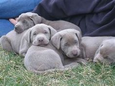 Silver labradors - a mutation of chocolate labs....so adorable!