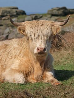 Scottish highland cow with bangs