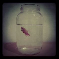 Betta Fish In A Jar