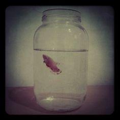 Betta Fish In A Jar