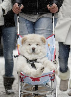Puppy in Pram -- A husky puppy is transported in a child's push chair, on a snowy street downtown Bucharest, Romania
