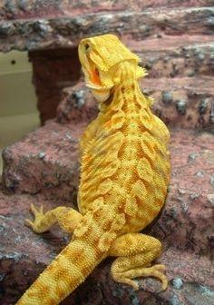 Citrus Bearded Dragon---beautiful