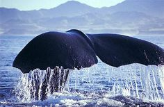 Kaikoura, New Zealand - on our whale watching trip, I took a photo much like this of a sperm whale diving.