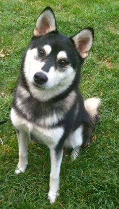 shiba inu klee kai mix | ... Shiba Inu is in there... this pup looks like the very model of a Klee