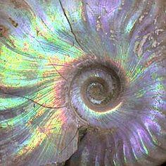 http://www.thomasbeckershomepage.de/resources/ammonit_perlmutt2.jpg